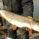Northern Pike in Utah Lake