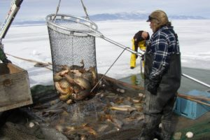 Carp Seining on Ice